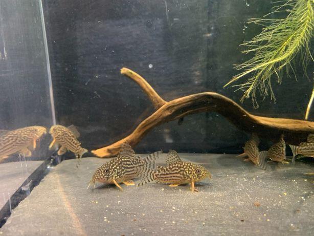 Kirys Kirysek Sterby Corydoras sterbai