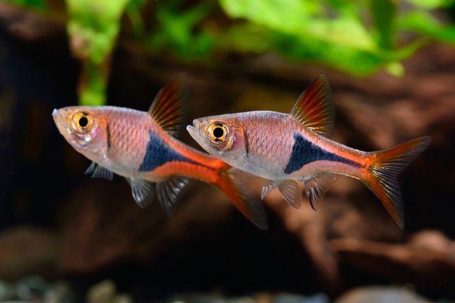 Razbora Klinowa/rybki akwariowe/rybka