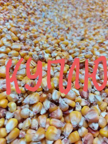 Кукурузу зерно кукурудза