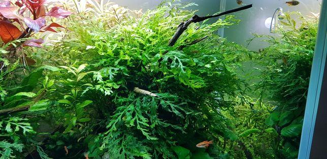 Bolbitis heudelotii (planta para tronco/rocha) - Aquário