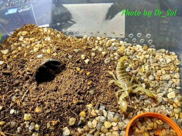 Скорпион Scorpio maurus palmatus самка