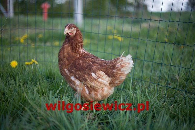młode odchowane kury kokoszki kura nioska okazja!