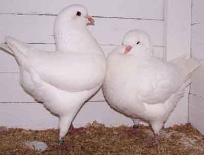 Casais de Pombos de raça