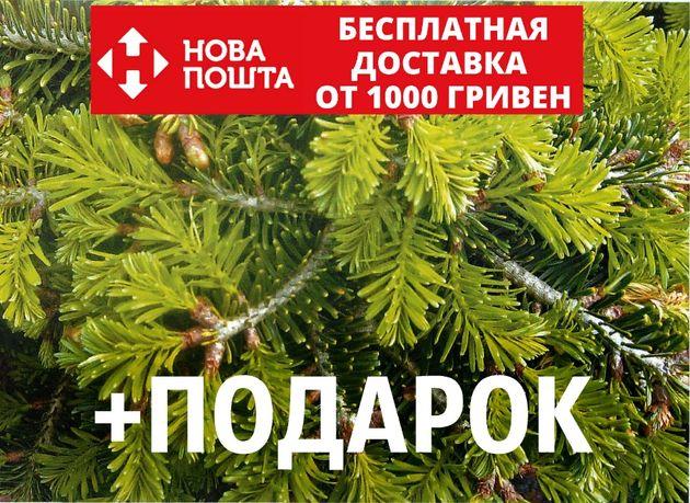 Пихта Нордмана семена (50 шт) (пихта кавказская, Ábies nordmanniána)