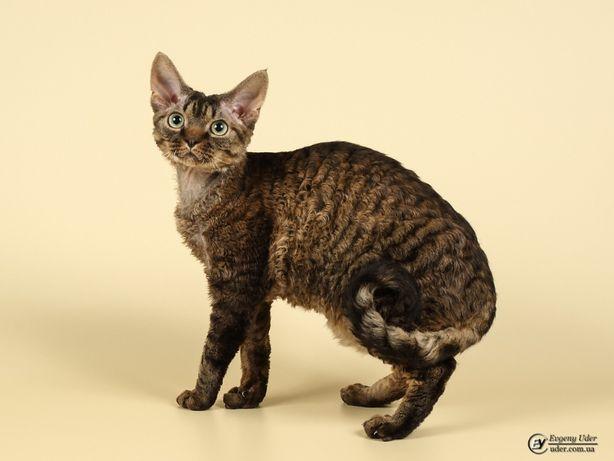 Кот девон-рекс