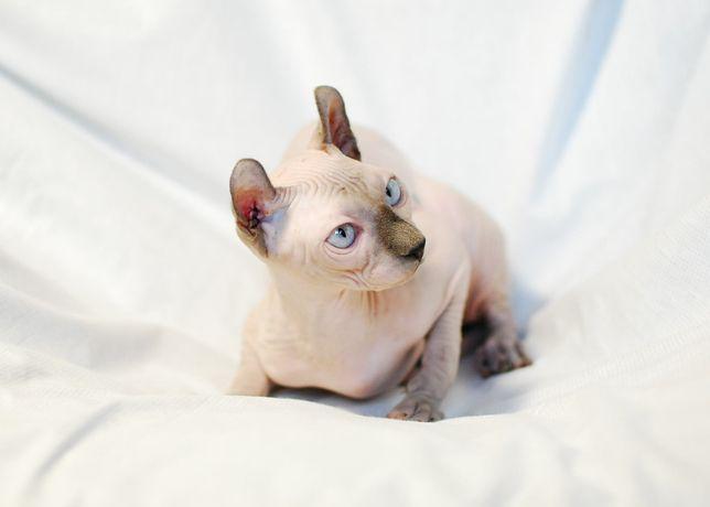 Голубой голубоглазый кот эльф на вязку и канадский сфинкс.