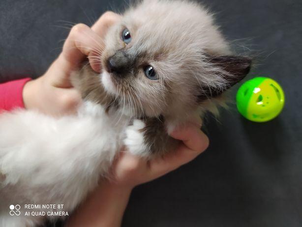 Rezerwacja do 16.04.Syberyjska kotka dziewczynka-wyprawka, rodowód