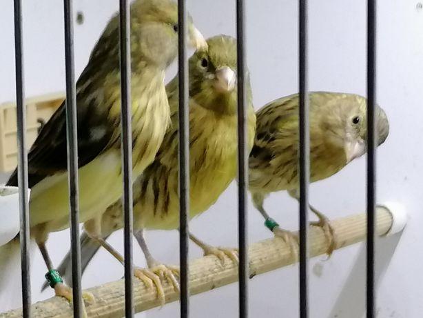 Kanarek zielony samce i szeki samiczki