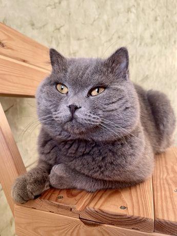 Вязка британського кота