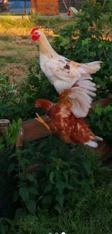 Kury Nioski z jajkiem Nioski Ogólnoużytkowe