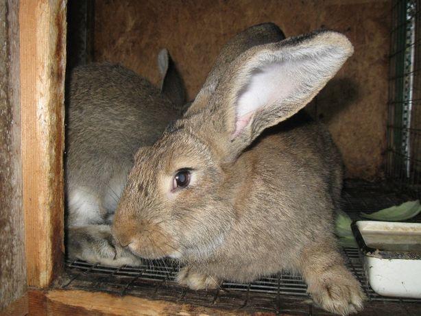 Кролики для домашнего разведения