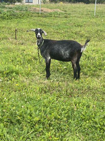 Sprzedam 2 kozy mleczne