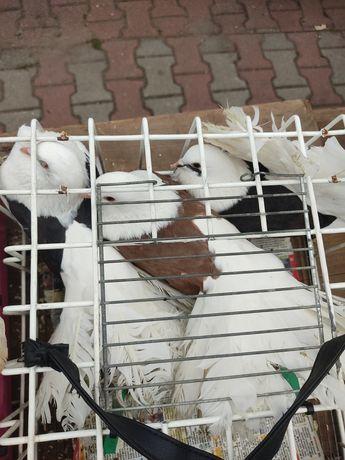 Pawiki gołębie tarczowe piękne !