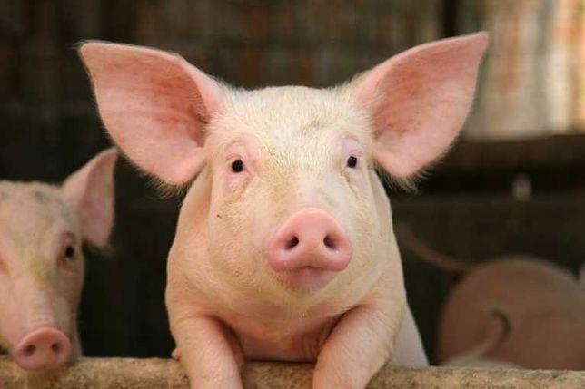 Свинина домашняя (м'ясо свині)