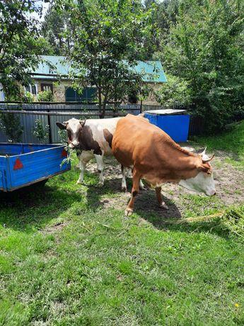 Продаються дві корови