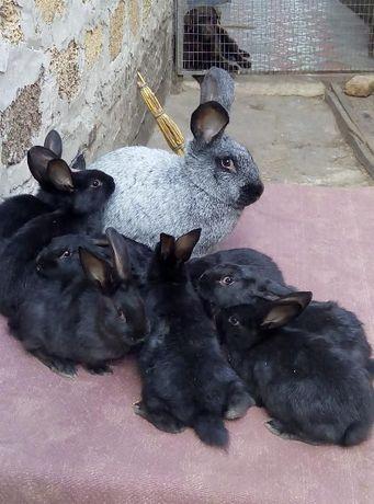 кролики полтава и другие