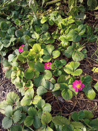 саженцы клубники с розовыми цветками (токио)