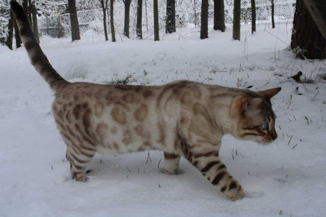 Kocur bengalski śnieżny/ Lynx hodowlany
