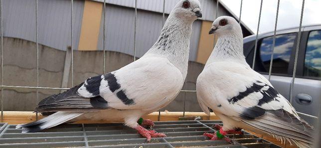 Gołębie damasceńskie / Gołębie lodowe para 4