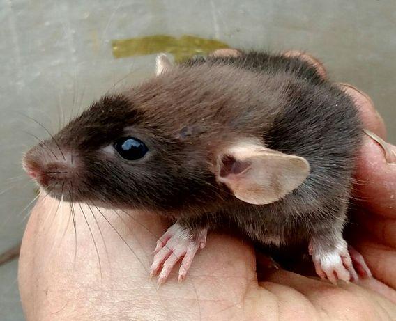КлассныеКрысы дамбо