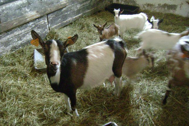 Kózki karłowe.