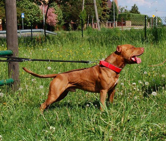 Szczenięta American Pit Bull Terrier, Pitbull, Pitbulle