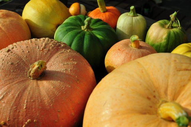 Dynie ekologiczne jadalne, różne odmiany, ozdobne Halloween