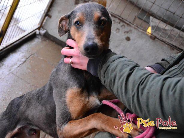 WHIPPECIK-śliczny, kochany, super fajny szczupły psiak szuka domu, ado