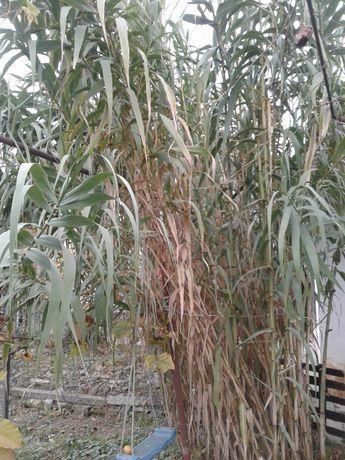 Бамбук для побегов