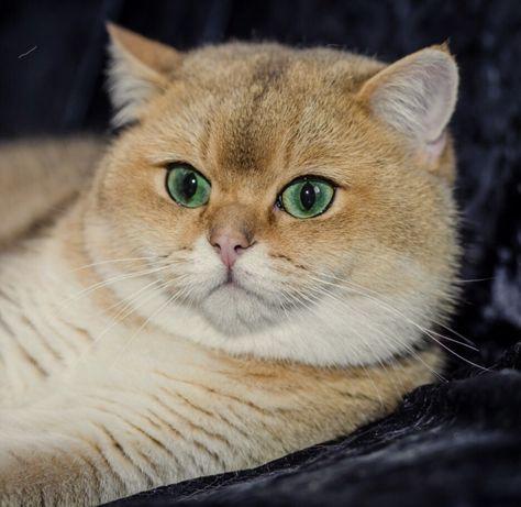 Золотая шиншилла котик