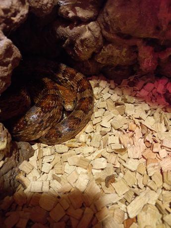 Wąż zbożowy tanio