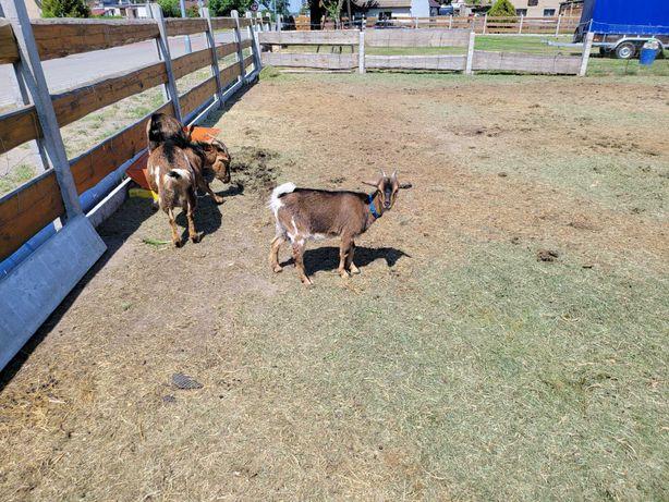 Sprzedam kozy miniaturki