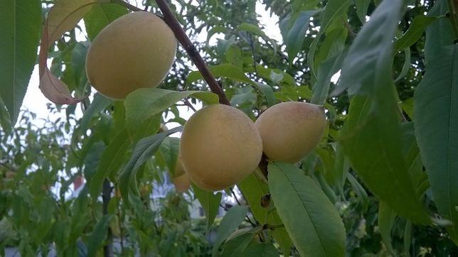 Районированный морозоустойчивый персик