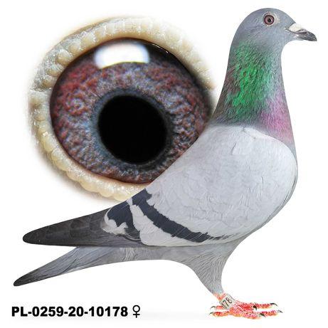 Młode 2021 Para 45 Bula-Latacz Olimpia x Joker gołąb gołębie pocztowe