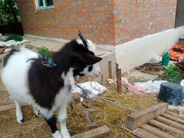Продам молоду молочную козу