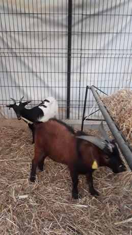 Casal de cabras anãs