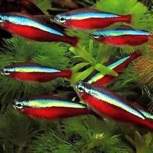 Ryby akwariowe/ryba do akwarium/neonek czerwony/neon do akwarium