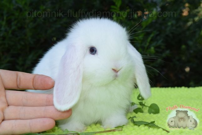 Белые голубоглазые крольчата.Нидерландский вислоухий карликовый кролик
