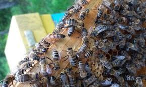 Продам бджоли (бджолосім'ї, рої).