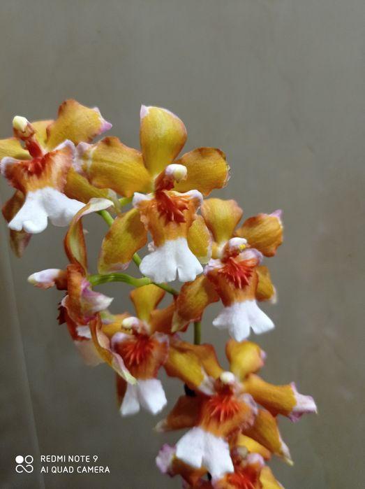 Цветущая орхидея Камбрия. Запорожье - изображение 1