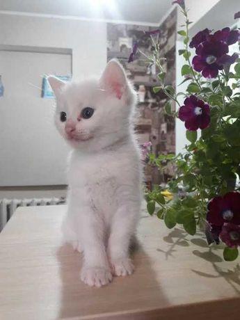 Отдам белых красивых котят