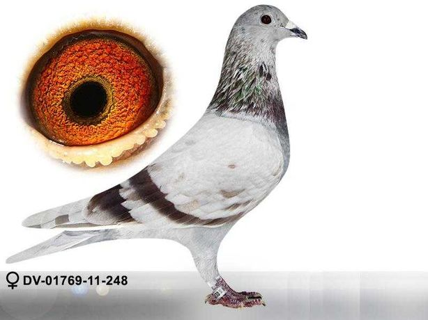 gołębie pocztowe -samica org Andreas Drapa