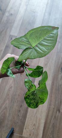 Syngonium Confetti Tricolor roślina kolekcjonerska ukorzeniona