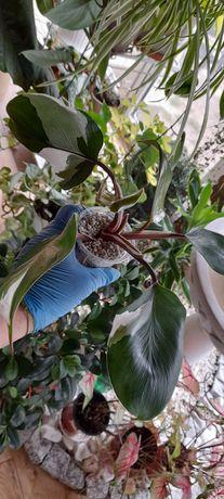 Philodendron White Knight.  Ogromna sadzonka