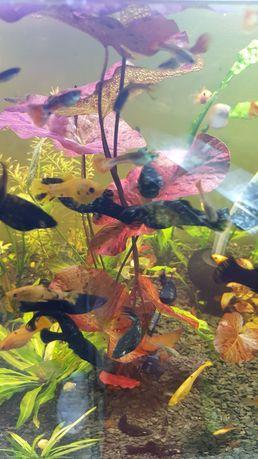 Molinezje czarne czarno-żółte i nakrapiane