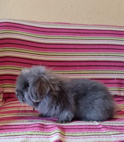 Vendo coelhos angora e belier de dois meses