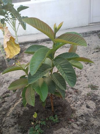 Vendo Planta goiabeira