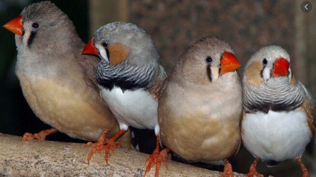 Ptaszki Zeberki zeberek