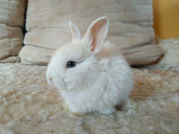 królik miniaturka