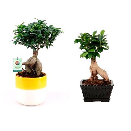 Бонсаи, Орхидеи, Фикусы - Растения и Цветы оптом из Голландии, ЕС